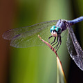 Dragonfly 0367 by Tam Ryan
