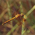 Dragonfly 1 by Kae Cheatham