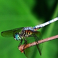 Dragonfly 11 by J M Farris Photography