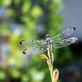 Dragonfly-2 by Charles Hite