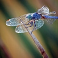 Dragonfly 2653-081718-1cr by Tam Ryan