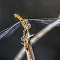 Dragonfly 4296-080917-1cr by Tam Ryan