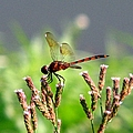 Dragonfly 8 by J M Farris Photography