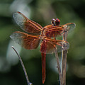 Dragonfly 9 by Christy Garavetto