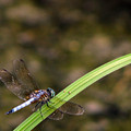 Dragonfly by Amanda Barcon