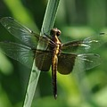 Dragonfly At Rest by Barbara Treaster