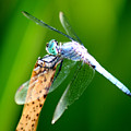 Dragonfly Blue by Chris Brannen