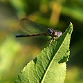 Dragonfly Called Funny Face by Belinda Cox