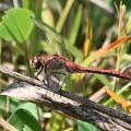 Dragonfly by Cheryl Braley