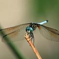 Dragonfly by Douglas Stucky