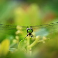 Dragonfly Dream In Green by Carol Groenen