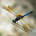 Dragonfly Dreams by Suzanne Gaff