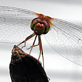 Dragonfly Face by Steven Scanlon
