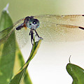 Dragonfly Face by Terri Mills