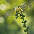 Dragonfly Flower by Rebecca Samler