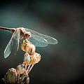 Dragonfly by Gabriela Insuratelu
