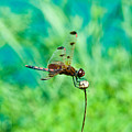 Dragonfly Hanging On by Douglas Barnett