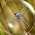 Dragonfly In A Bubble by Carol Groenen