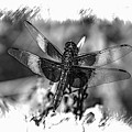 Dragonfly In Black And White by Lisa Hurylovich