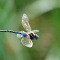 Dragonfly In Flight by Randall Ingalls