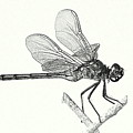 Dragonfly In Monotone by T Guy Spencer