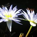 Dragonfly Lily by Elizabeth Donald