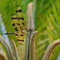 Dragonfly by Lucrecia Cuervo