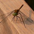 Dragonfly by Nancie DeMellia