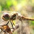 Dragonfly by Natalya Kuzmina