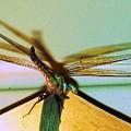 Dragonfly by Nereida Slesarchik Cedeno Wilcoxon