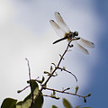Dragonfly On A Limb by Dustin K Ryan