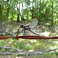 Dragonfly On Barbed Wire by Al Powell Photography USA
