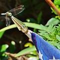 Dragonfly On Flag by Beth Deitrick