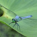 Dragonfly On Lily by Mark Valentine
