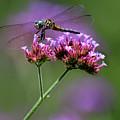 Dragonfly On Purple Verbena by Karen Adams