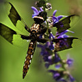 Dragonfly On Salvia by  Onyonet  Photo Studios