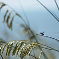 Dragonfly On Sea Oats by Robert  Suits Jr