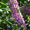 Dragonfly On The Butterfly Bush by Susan Baker