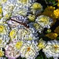 Dragonfly On White Mums by Catherine Melvin