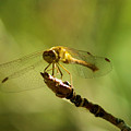 Dragonfly Perched by Jeff Swan