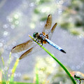 Dragonfly Portrait by Chris Crowley