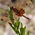 Dragonfly Resting 2 by Douglas Barnett