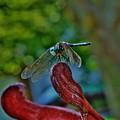 Dragonfly Resting by Beth Deitrick
