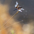 Dragonfly by Rima Biswas
