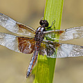 Dragonfly by Sherry Butts
