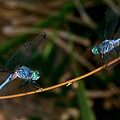 Dragonfly Stand-off by Patrick Witz