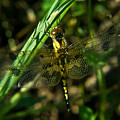 Dragonfly Venation Revealed by Douglas Barnett