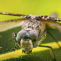 Dragonfly Wiping Its Eyes by William Freebilly photography
