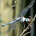 Dragonfly With Yellowjacket 1 by J M Farris Photography