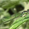 Dragonfly1 by Svetlana Sewell
